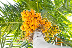 Ripe betel-nut (areca) bunch. Stock Photo