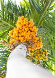 Ripe betel-nut (areca) bunch. Stock Image