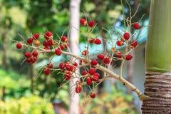Ripe Betel Nut or Areca Nut Palm Royalty Free Stock Images