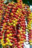Ripe Betel Nut. Or Areca Nut Palm on Tree Royalty Free Stock Images