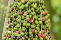 Ripe Betel Nut Or Are-ca Nut Palm Royalty Free Stock Images