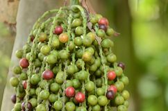Ripe Betel Nut Or Are-ca Nut Palm Stock Photography