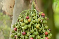 Ripe Betel Nut Or Are-ca Nut Palm Stock Photo