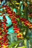Ripe betel nut red balls - betel palm on tree. Royalty Free Stock Photos