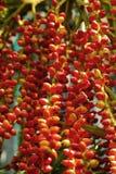 Ripe betel nut red balls - betel palm on tree. Stock Image
