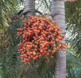 Ripe Betel Nuts. A cluster of ripe Betel nuts hanging from a palm tree Stock Photography