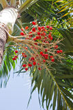 Ripe betel palm Stock Images