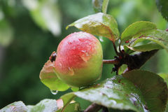 Ripe big apple with drops of rain on the apple tree Royalty Free Stock Image