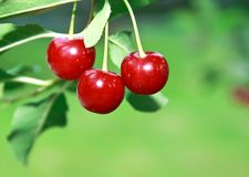 Ripe big red cherries on branch Royalty Free Stock Photos