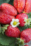 Ripe big strawberries fruits with flower, cluse up Royalty Free Stock Photo