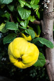 Ripe big yellow apple quinces hanging on a branch tree in a gard Royalty Free Stock Photography