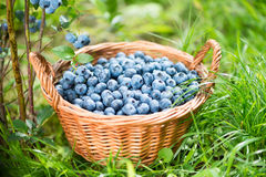 Blueberry basket. Ripe Bilberries in wicker basket. Royalty Free Stock Image
