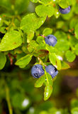 Ripe bilberry Royalty Free Stock Photos
