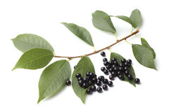 Ripe bird cherry with green leaves Royalty Free Stock Photos