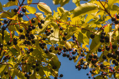 Ripe black berry on branch shrubbery. Horizontal photo, photo took in Moscow, in Russia , photo is usable on picture post card, calendar, gardening Stock Photography