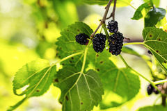 Ripe black berry hanging on Morus tree branch black mulberry, M Stock Image