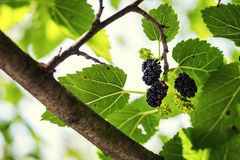 Ripe black berry hanging on Morus tree branch black mulberry, M Royalty Free Stock Photo