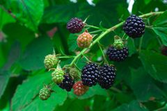 Ripe black blackberries against the background of green leaves Royalty Free Stock Photos