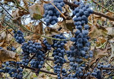 Ripe black bunch grapes for vine out of order behind frost Stock Photography