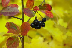 Ripe black chokeberry. On the bush in autumn Royalty Free Stock Photo
