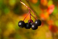 Ripe Black Chokeberry Royalty Free Stock Photos