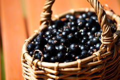 Ripe black currant berries in a basket Royalty Free Stock Photography
