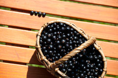 Ripe black currant berries in a basket Royalty Free Stock Image