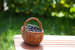 Ripe black currant berries in a basket Stock Photography