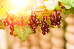 Ripe black currant berries on a branch. With green leaves Royalty Free Stock Photo