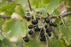 Ripe black currant berries are growing in the garden. Early autumn Royalty Free Stock Image