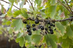 Ripe black currant berries are growing in the garden. Early autumn Stock Photography