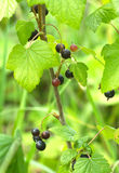 Ripe black currant berries grows closeup Stock Photo