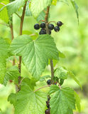 Ripe black currant berries grows closeup Royalty Free Stock Photo