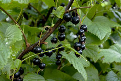 Ripe black currant berries hanging on the branches. After the rain Royalty Free Stock Image