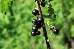 Ripe black currant Royalty Free Stock Image