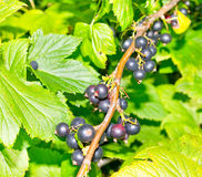 Ripe black currant fruit. S and green leafs on branch stock image