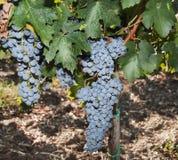 Ripe black grape Royalty Free Stock Images
