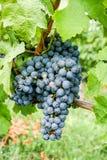 Ripe black grape Royalty Free Stock Photography