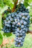 Ripe black grape Royalty Free Stock Photos