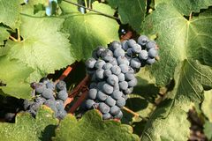 Ripe black grape Stock Image