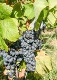 Ripe black grape Royalty Free Stock Image