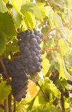 Ripe black grape in the sunset light Royalty Free Stock Photography