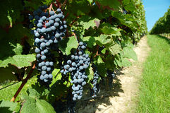 Ripe black grapes Royalty Free Stock Image