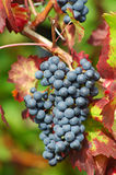Ripe black grapes Stock Photos