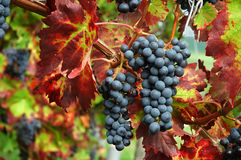 Ripe black grapes and autumn leaves Royalty Free Stock Photography