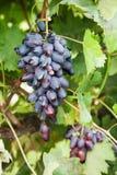 Ripe black grapes Stock Photos