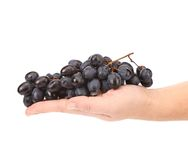 Ripe black grapes on a hand. Stock Image