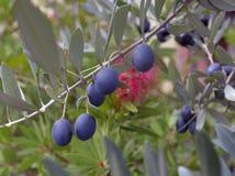 Ripe black olives Royalty Free Stock Image