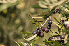 Ripe black olives Royalty Free Stock Photo