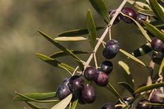 Ripe black olives Royalty Free Stock Photo